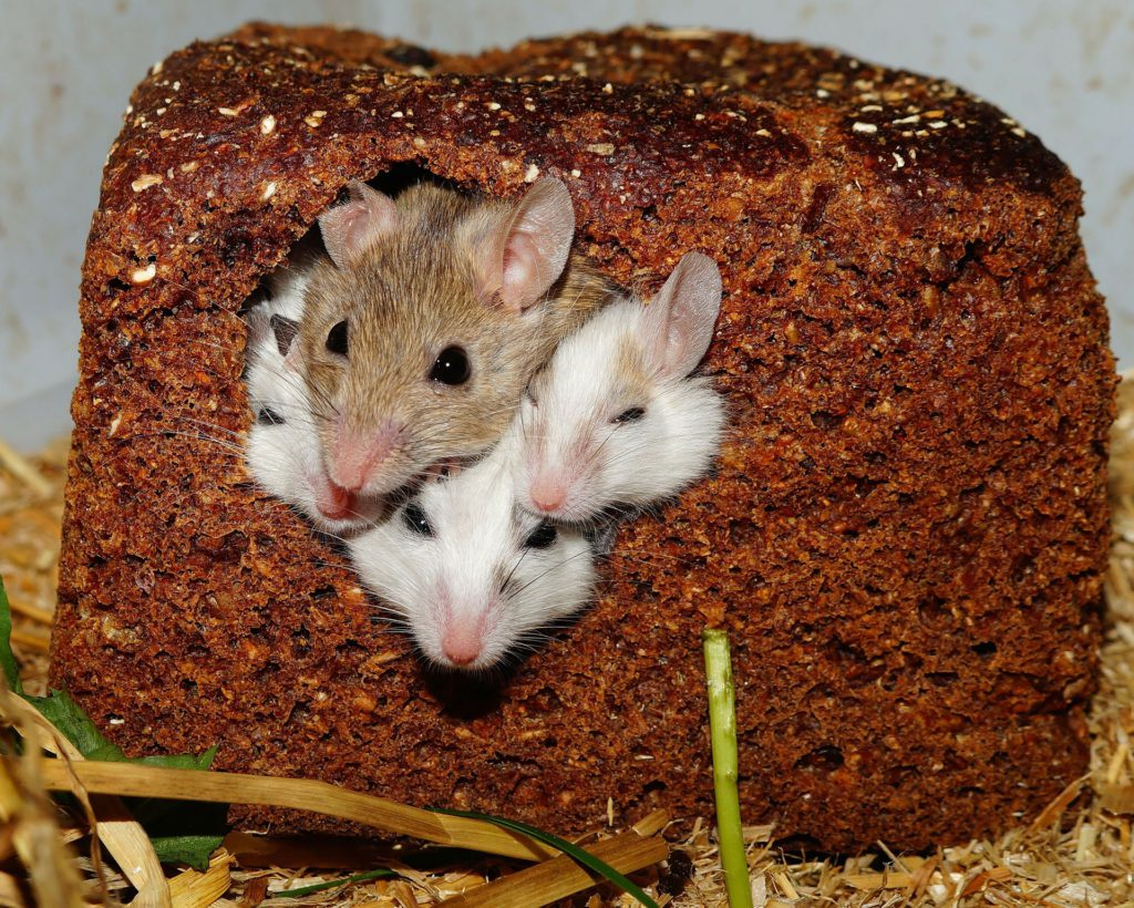 Mice in bread
